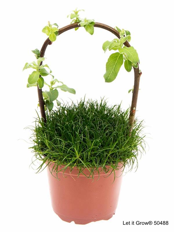 Sagina 9 cm w/Salix