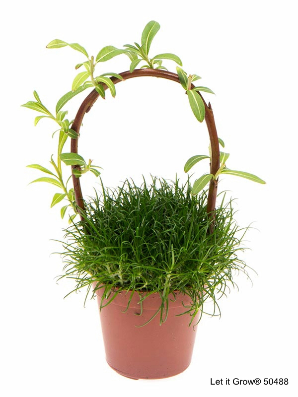 Sagina 5,5 cm w/Salix