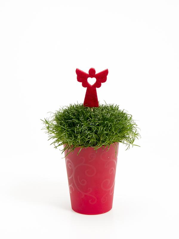 Sagina 5,5 cm. m/ Filtengel i Elegante potte