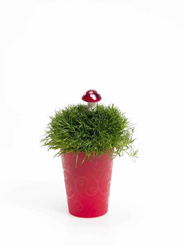 Sagina 5,5 cm. m/ Svamp i Elegante potte
