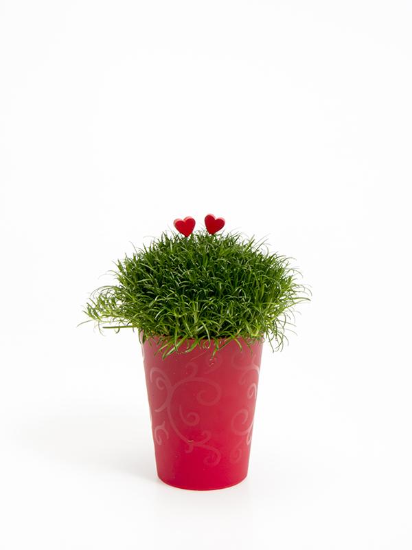 Sagina 5,5 cm. m/ Hjerter i Elegante potte