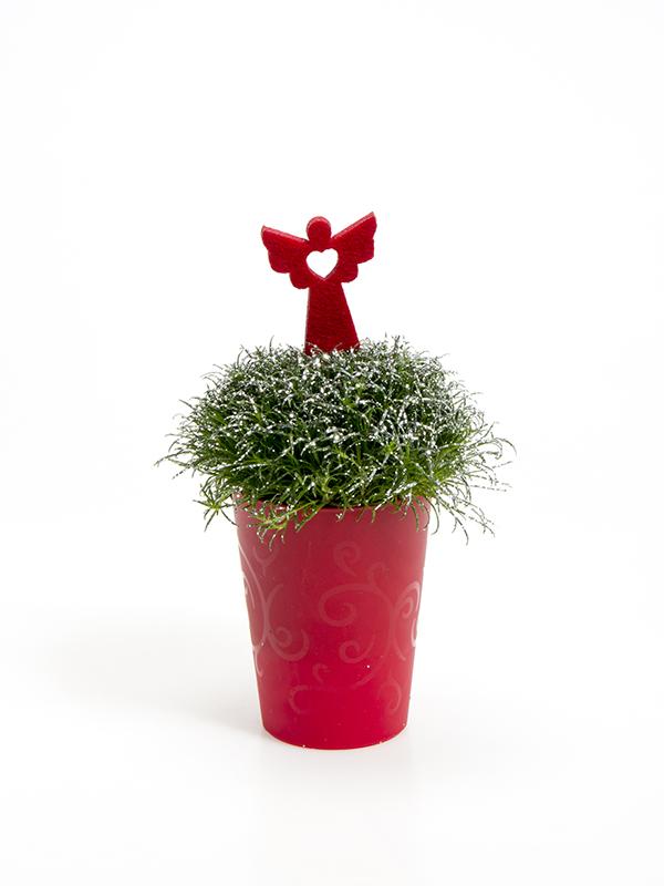 Sagina 5,5 cm. m/ Filtengel og glimmer i Elegante potte