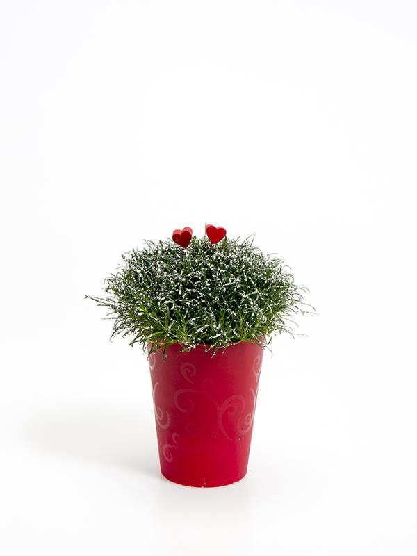 Sagina 5,5 cm. m/ Hjerter og glimmer i Elegante potte