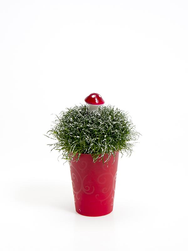 Sagina 5,5 cm. m/ Svamp og glimmer i Elegante potte