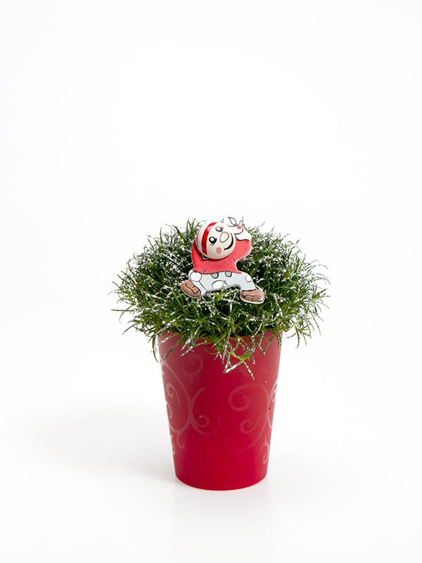 Sagina 5,5 cm. m/ Nisse og glimmer i Elegante potte