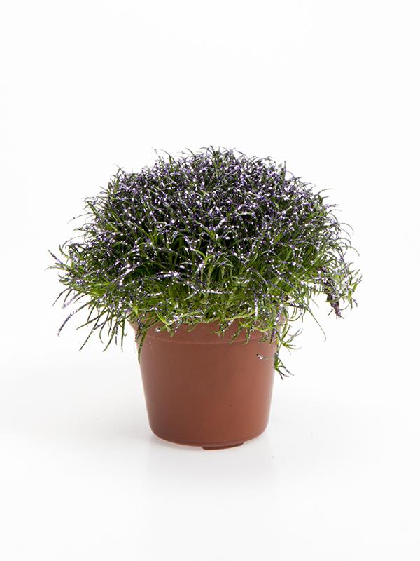 Colorina - Lavender