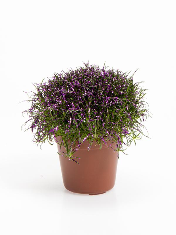 Colorina - Fuchsia