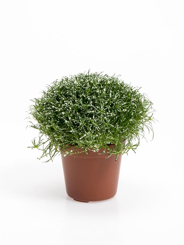Colorina - Sea green