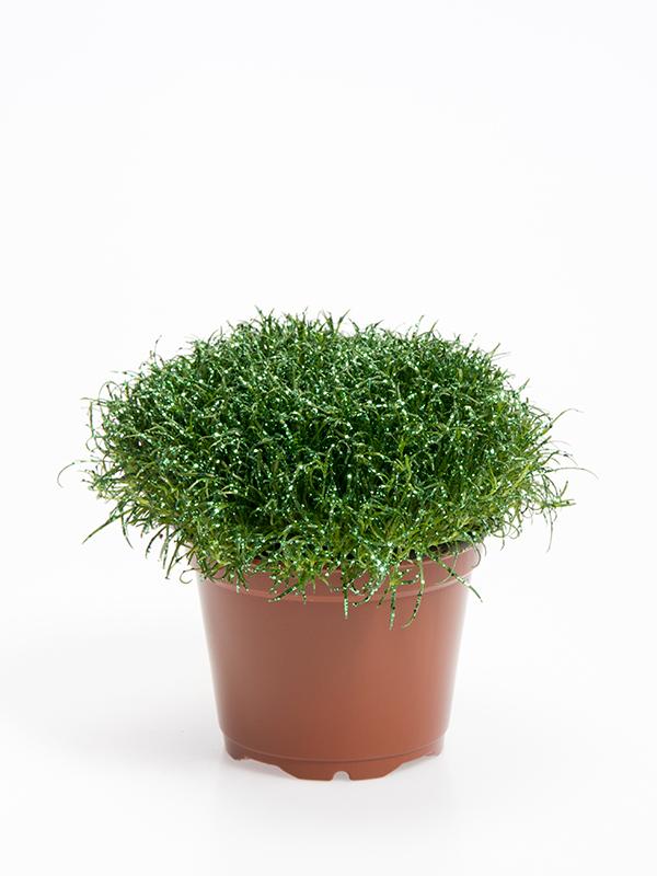 Colorina - Green