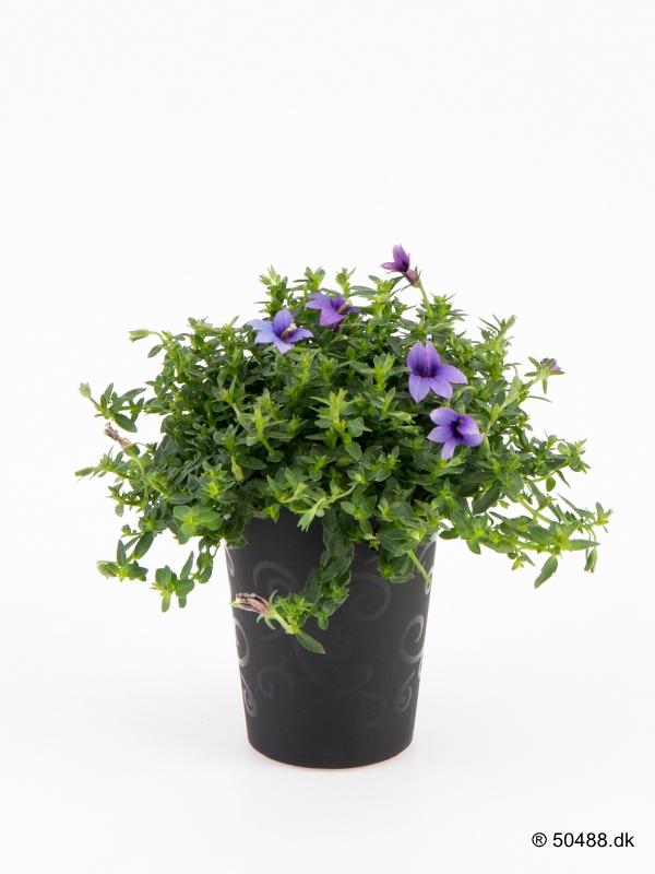 Monopsis 'Elegante' 5,5 cm