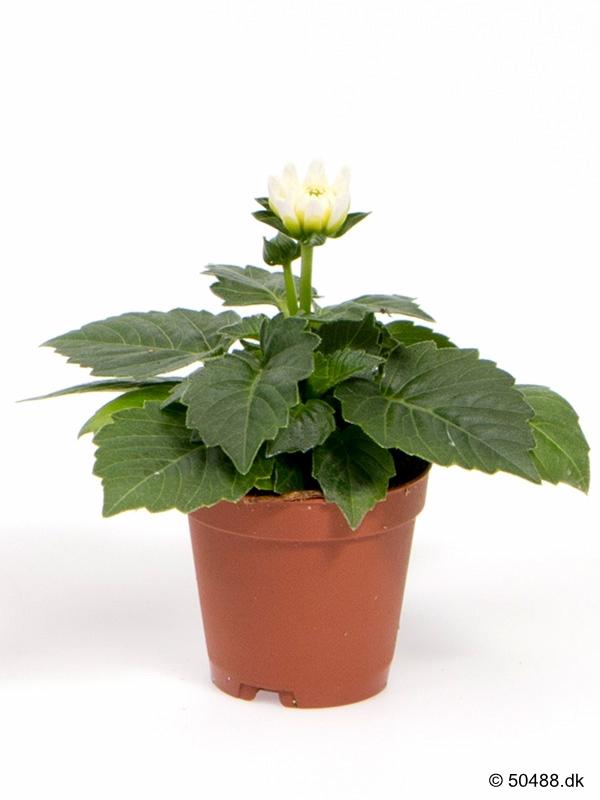 Dahlia hybrid mini