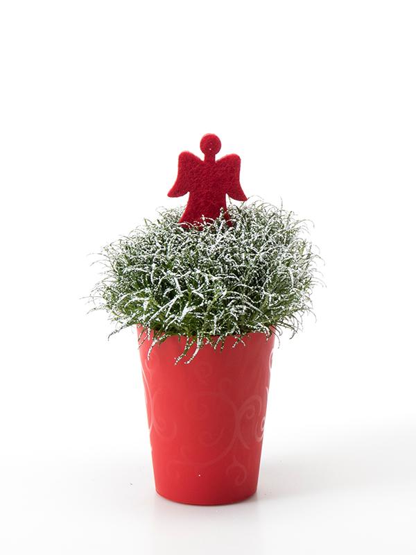 Sagina 5,5 cm. m/ Filtengel og SNOW i Elegante potte