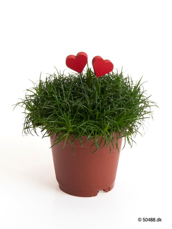 Sagina 5,5 cm Hearts