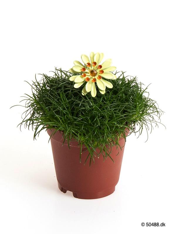 Sagina 5,5 cm Flower