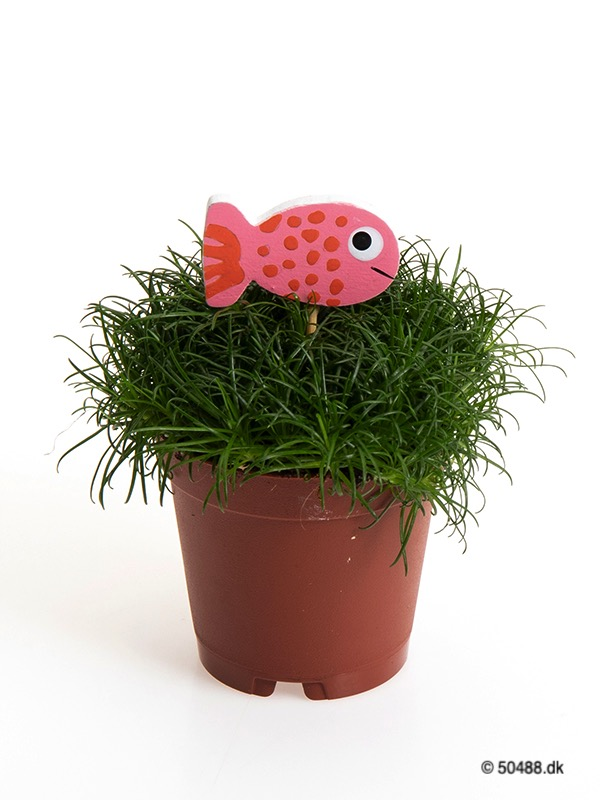 Sagina 5,5 cm Fish