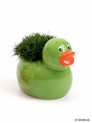 Sagina in Ceramic Duck