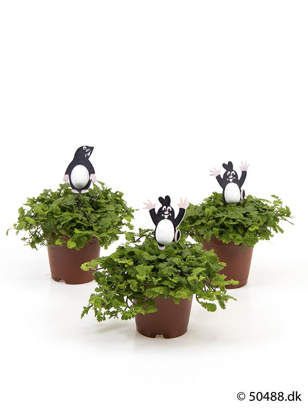 Cotula mini - Mole