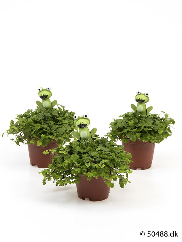 Cotula mini - Frog