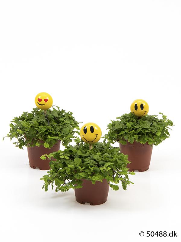 Cotula mini - Smiley