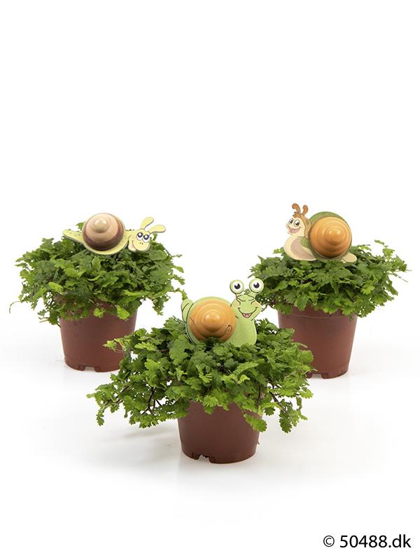 Cotula mini - Snail