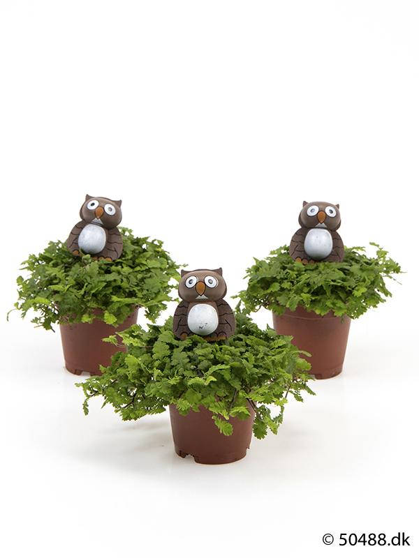 Cotula mini - Owl