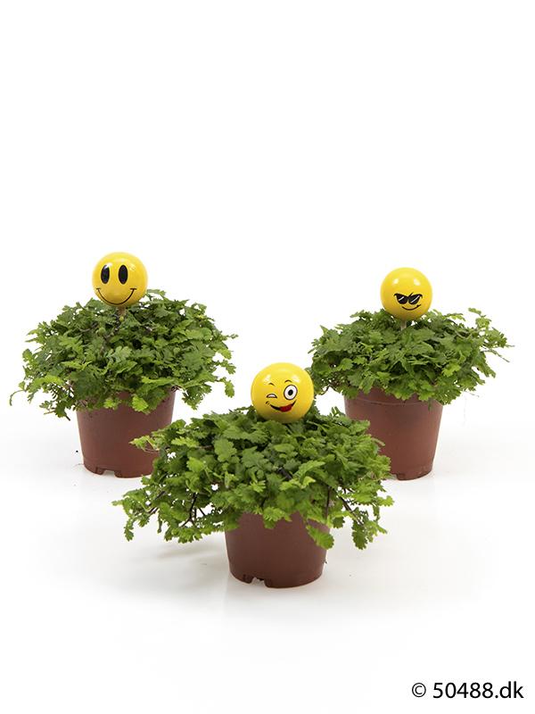 Cotula mini - Emojii