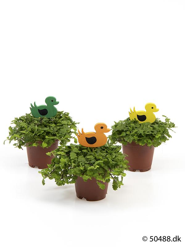 Cotula mini - Ducks