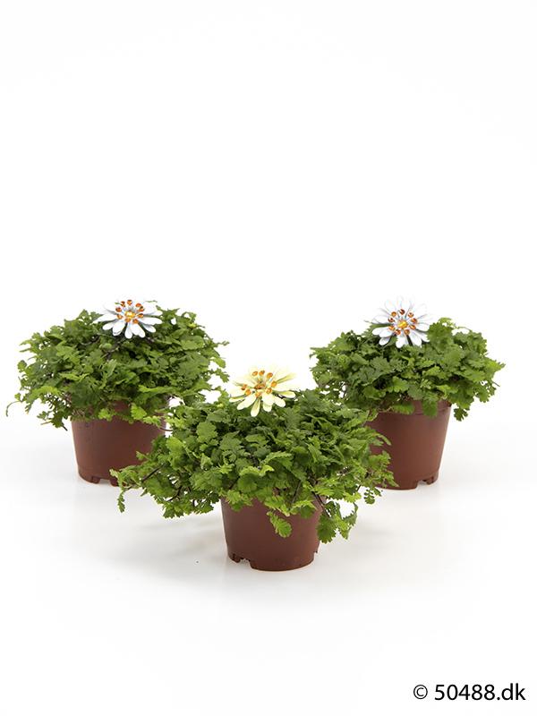 Cotula mini - Flowers