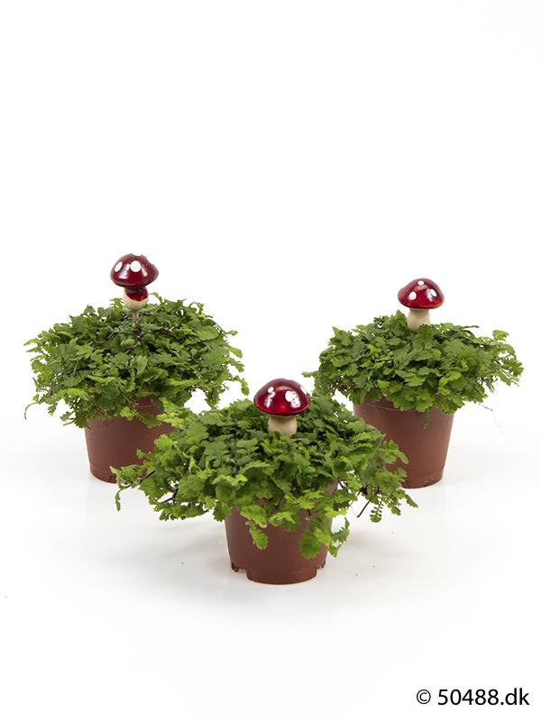 Cotula mini - Mushroom