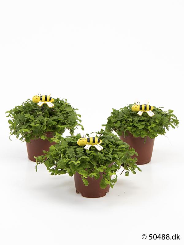 Cotula mini - Bee