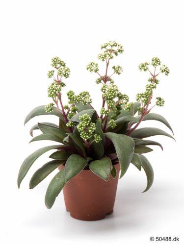 Crassula Rosularis - 5,5 cm